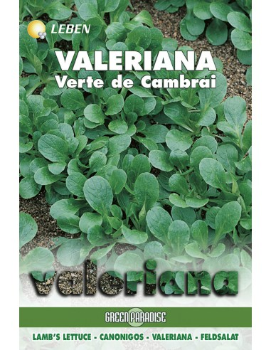 VALERIANA VERTE CAMBRAI  LBO