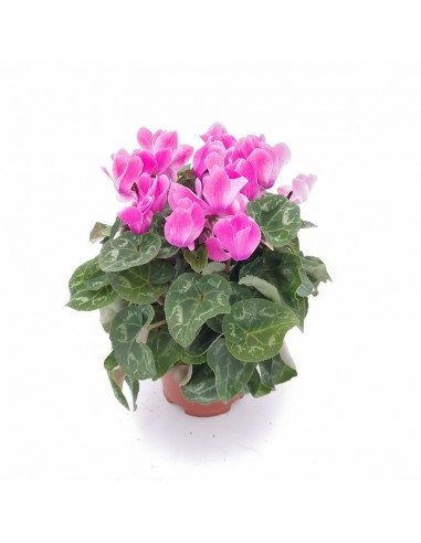 CYCLAMEN PERSICUM, LIGHT PINK...
