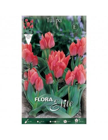 """TULIPANO """"TORONTO"""" (multi-flowered)..."""