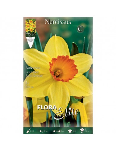 NARCISO 'RED DEVON' (large-cupped) 5...