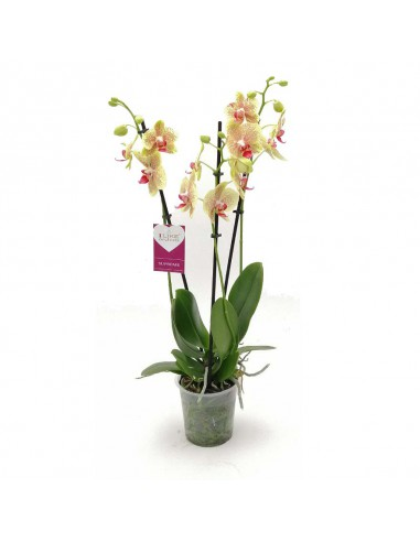 ORCHIDEA PHALAENOPSIS SOLID GOLD 2...