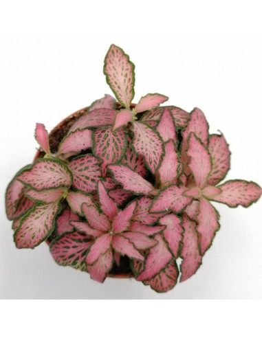 FITTONIA MOSAIC PINK FOREST FLAME...