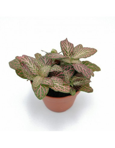 FITTONIA MOSAIC MISTRAL SMALL LEAVES...