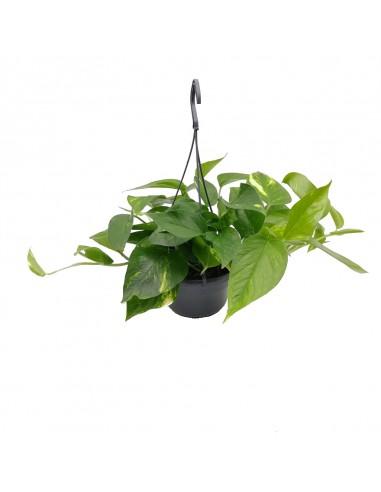 EPIPREMNUM HANGING diametro vaso 15 cm