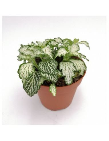 "FITTONIA WHITE TIGER ""Monte bianco""..."