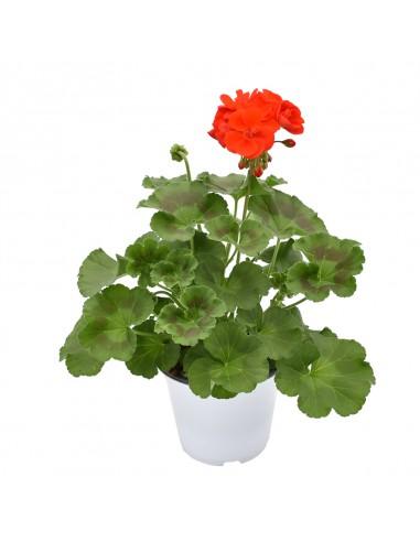 GERANIO ZONALE - RED Diametro vaso 14 cm