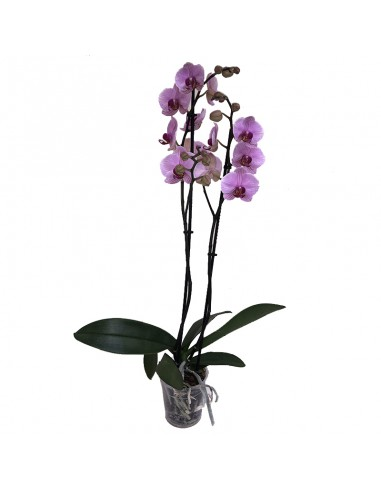 ORCHIDEA PHALAENOPSIS ANTH. MEMPHIS -...