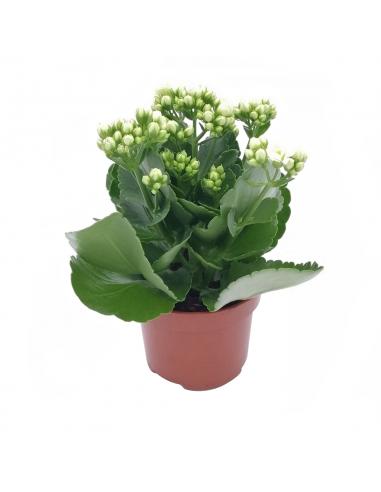 KALANCHOE - WHITE diametro vaso 10,5 cm