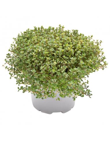 TIMO 'DOONE VALLEY' diametro vaso 14 cm